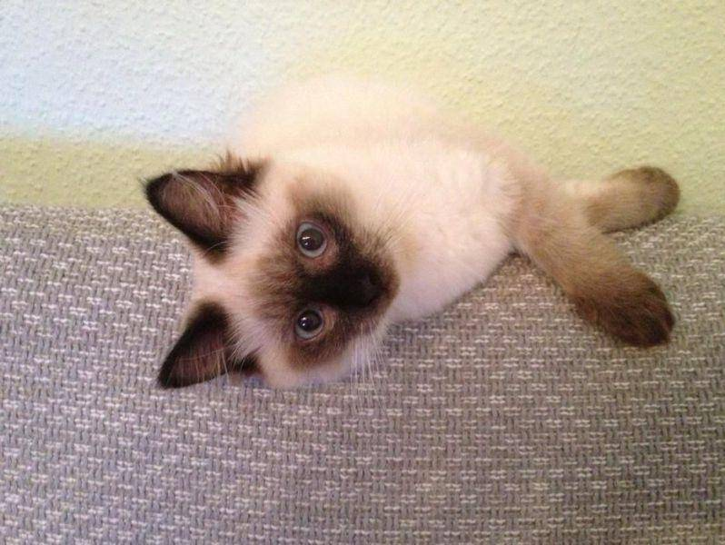 Nala (Ragdoll-Katze) — Bild: Nina Roesgen