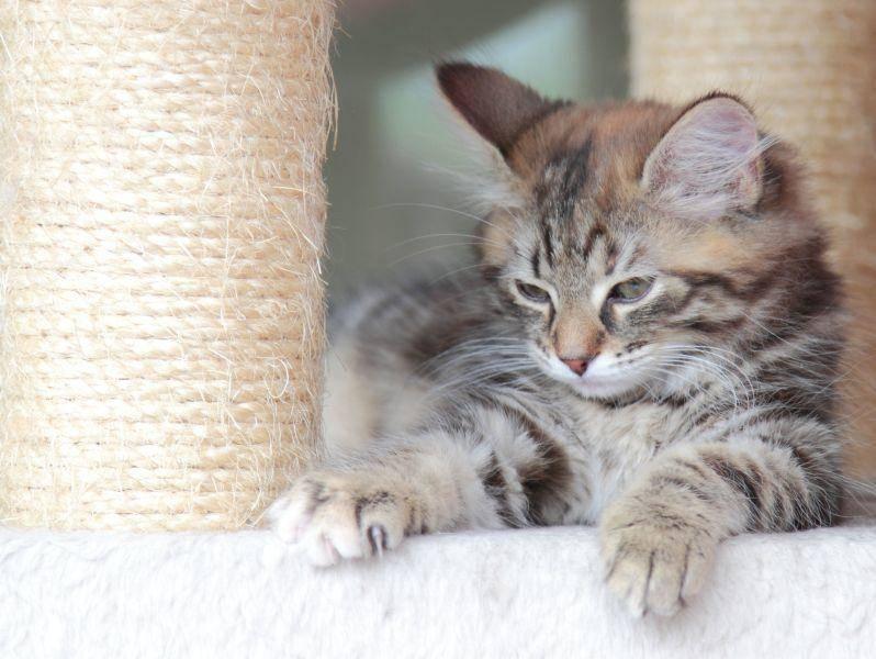 Ein hoher, stabiler Kratzbaum ist ein Muss für die bewegungsfreudige Sibirische Katze — Bild: Shutterstock / Massimo Cattaneo