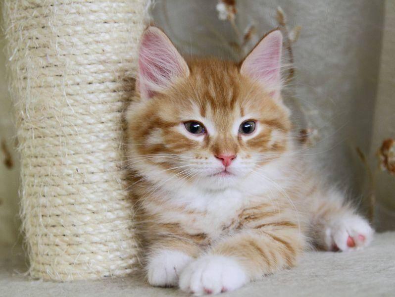 Die Sibirische Katze gehört einer natürlichen Rasse an, die nicht züchterisch beeinflusst wurde — Bild: Shutterstock / Massimo Cattaneo