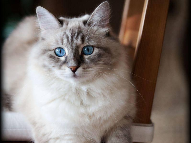 Farbliche Vielfalt ist Programm bei der schönen Sibirischen Katze — Bild: Shutterstock / Silver30