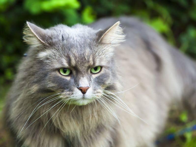 Die Sibirische Katze geht sehr gerne raus. Eine große Wohnung oder Freigang sind ideal für sie — Bild: Shutterstock / IVL