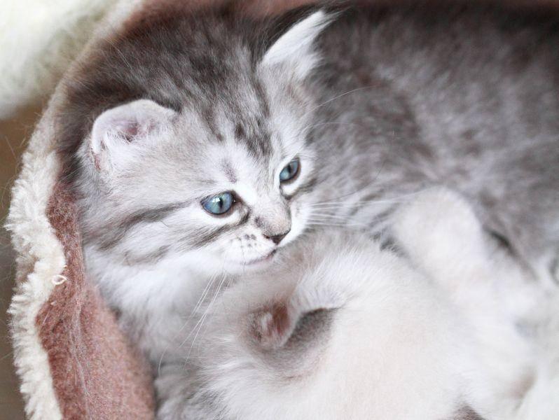 Eine schöne und besondere Rasse: Die Sibirische Katze — Bild: Shutterstock / Massimo Cattaneo