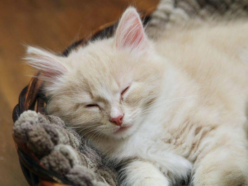 Wer sie im Kittenalter gut und liebevoll sozialisiert, hat einen Freund fürs Leben — Bild: Shutterstock / Massimo Cattaneo