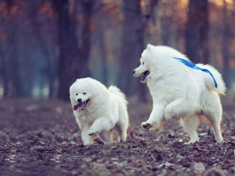 Und ab in den Wald! Zwei flauschige weiße Hunde beim Toben — Bild: Shutterstock / TatyanaPanova