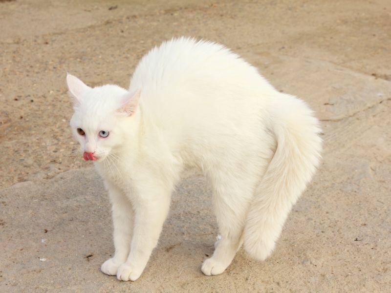 Hübsche weiße Katze: Ein toller Anblick — Bild: Shutterstock / LFRabanedo