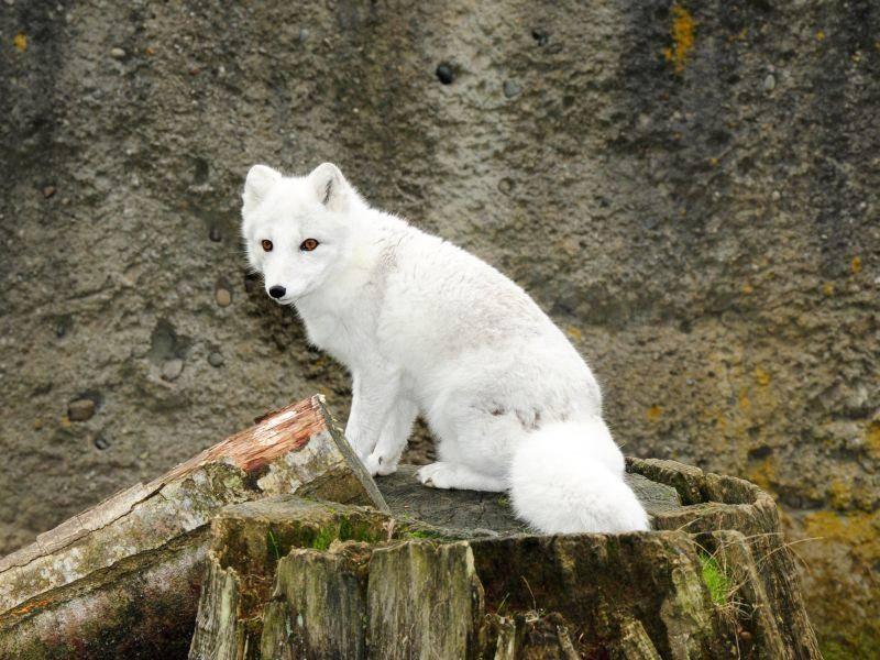 Und nun der Letzte in unsere Runde: Ein Polarfuchs in seinem weißen, schönen Pelz — Bild: Shutterstock / perlphoto