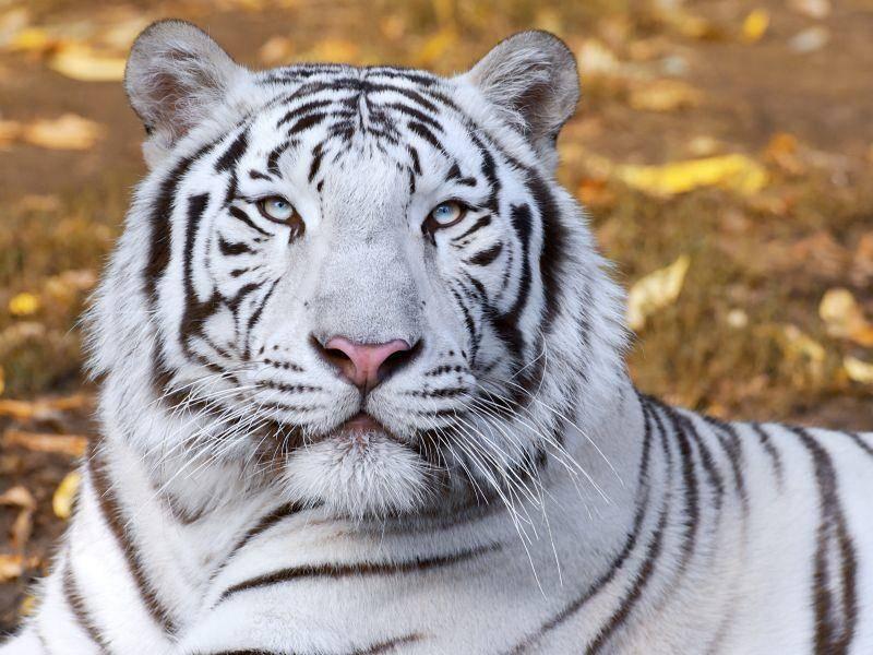 Majestätisch und nur ganz selten zu sehen: Ein weißer Tiger — Bild: Shutterstock / olga_gl