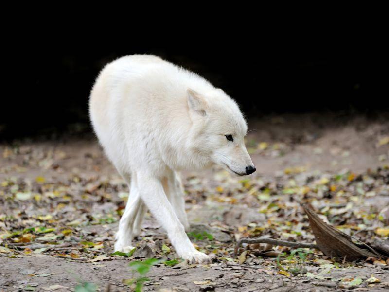 Und noch ein faszinierendes Raubtier: Ein weißer Wolf — Bild: Shutterstock / Volodymyr Burdiak
