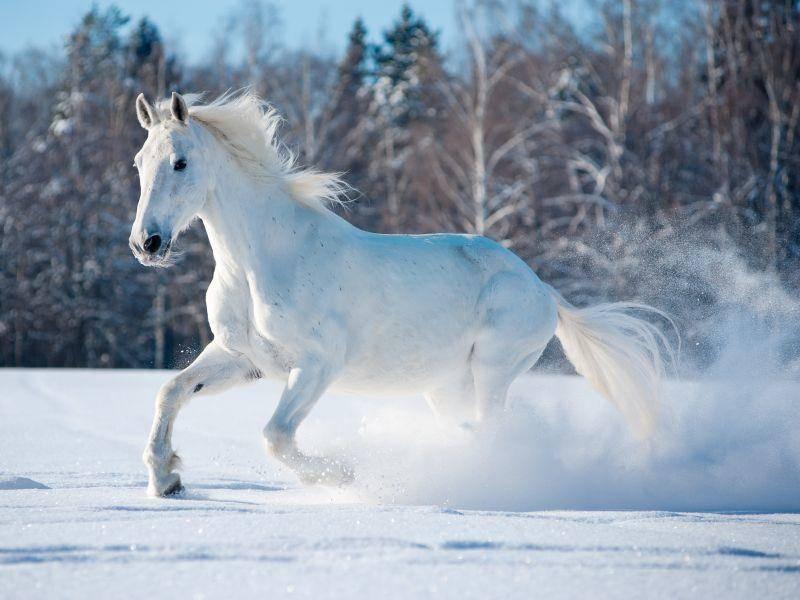 Ein weißer Hengst im Schnee: Schöner geht's nicht, oder? — Bild: Shutterstock / Olga_i