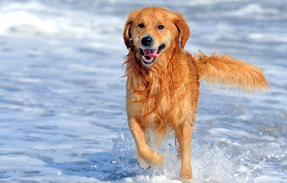 Dieser fröhliche Golden Retriever ist alles andere als wasserscheu. – Bild: Shutterstock / Volodymyr Burdiak