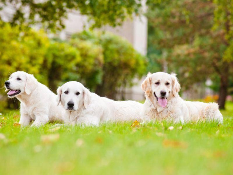 Diese drei Golden Retriever haben Spaß an einem Ausflug ins Grüne. – Bild: Shutterstock / otsphoto