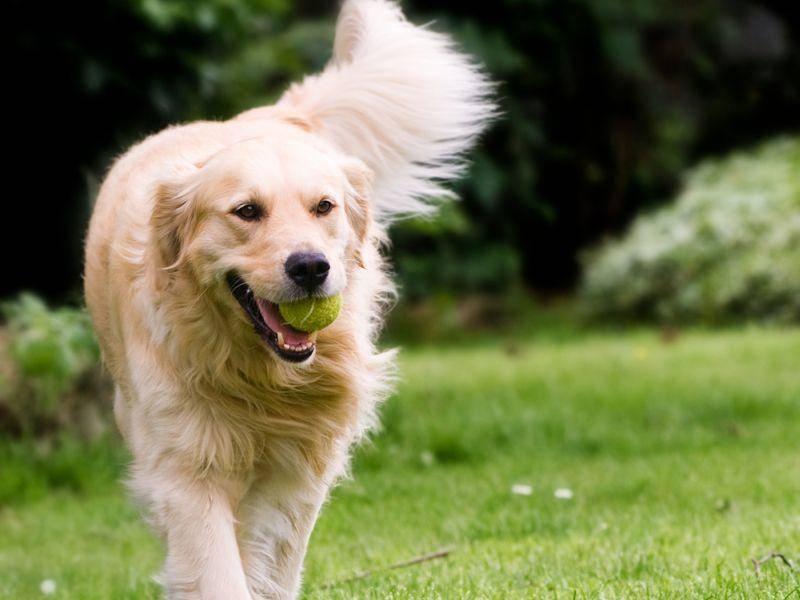 Der Golden Retriever freut sich über das Apportieren. Ursprünglich wurde dieser Hund für die Jagd gezüchtet, um geschossene Vögel aus dem Wasser zurückzubringen. – Bild: Shutterstock / Micimakin