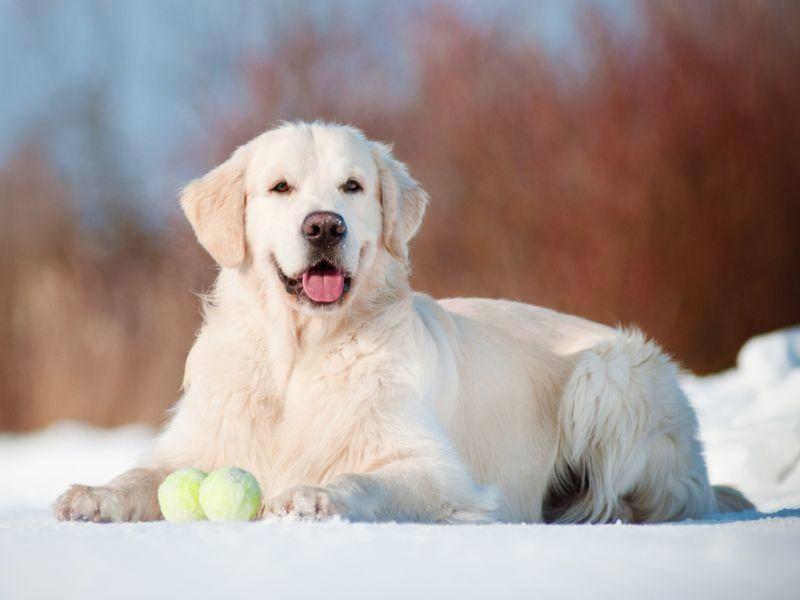 Vor allem ist der Golden Retriever für sein freundliches Wesen bekannt. Das macht diesen Hund zum idealen Familienmitglied. – Bild: Shutterstock / otsphoto
