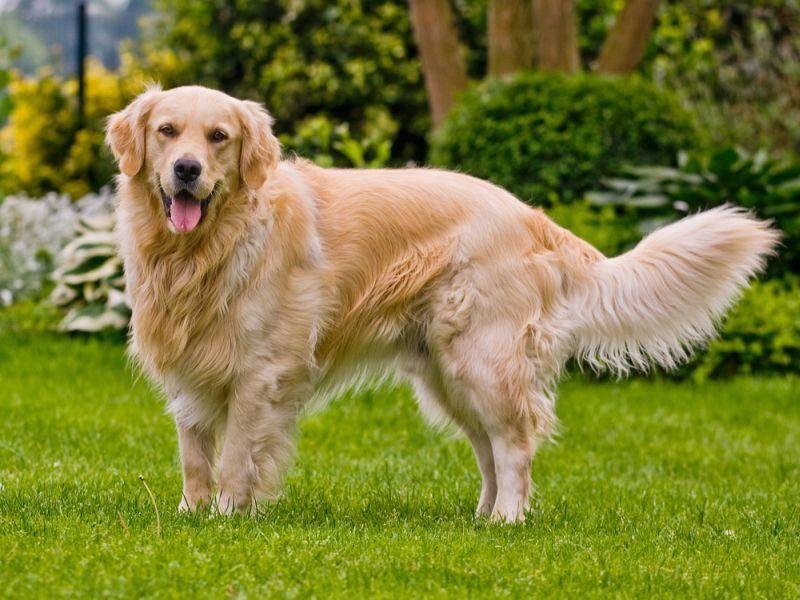 Als Hunderasse ist der Golden Retriever seit 1913 anerkannt. In den 1990er Jahren gewannen die freundlichen Hunde durch Auftritte in Filmen und in der Werbung an großer Beliebtheit. – Bild: Shutterstock / otsphoto