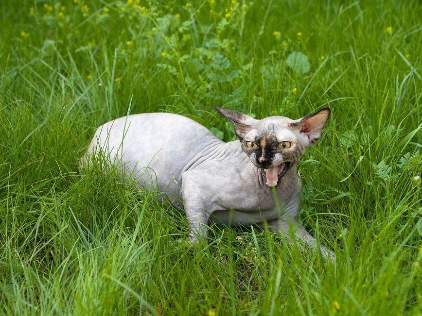 Diese Sphynx ist offenbar wenig begeistert vom Ausflug ins Grüne. – Bildquelle: Shutterstock / Tanee