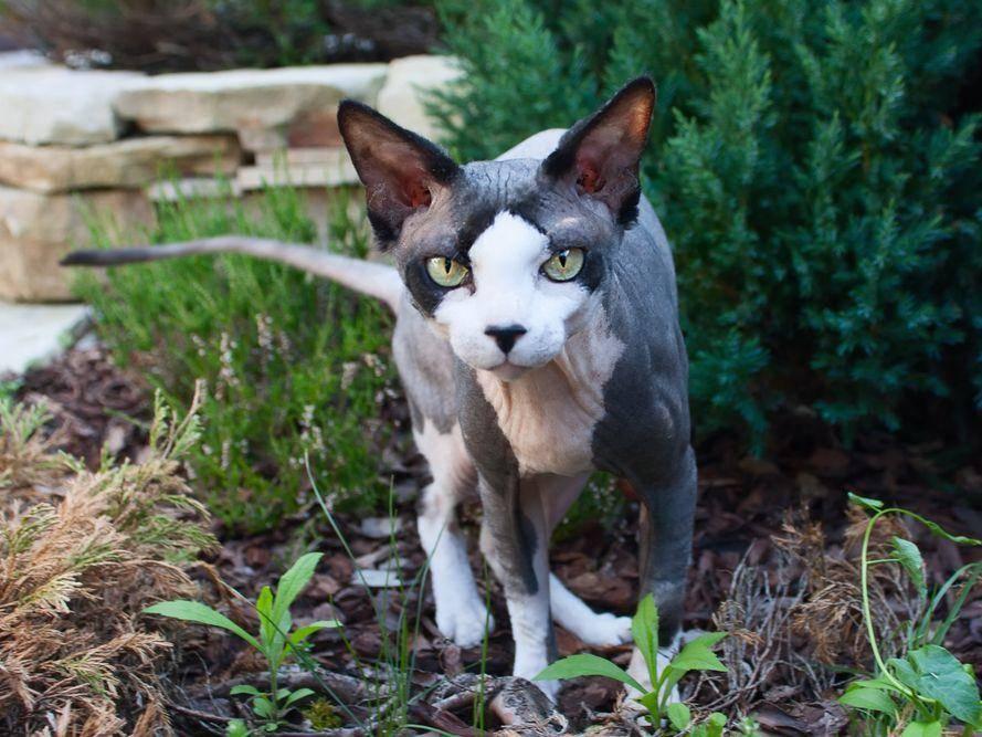 Die Sphynx-Katze sollte nur bei warmen Wetter nach draußen gelassen werden, sonst friert sie zu leicht. Im Sommer muss die empfindliche Katze gegen Sonnenbrand eingecremt werden. - Bildquelle: Shutterstock / Tanee