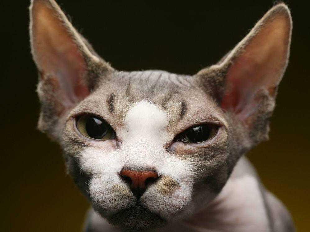 Einige Sphynx-Katzen sind nicht komplett haarlos, sondern besitzen sehr kurzes Fell. Die großen Augen und Ohren sind rassentypisch. – Bildquelle: Shutterstock / Juice Team's