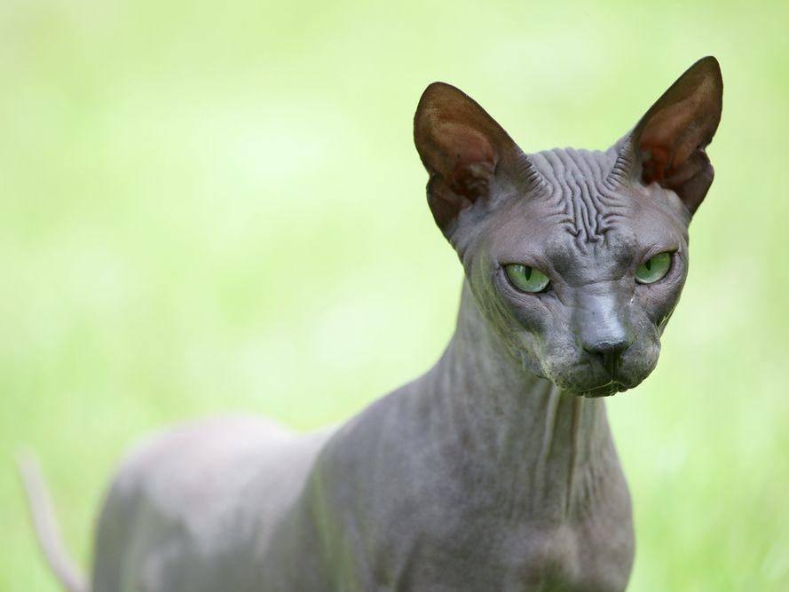 Alle Katzen haben lose, faltige Haut, die ihnen größtmögliche Bewegungsfreiheit erlaubt. Bei der Sphynx-Katze ist sie nur besonders gut zu erkennen. – Bildquelle: Shutterstock / Anna Jurkovska