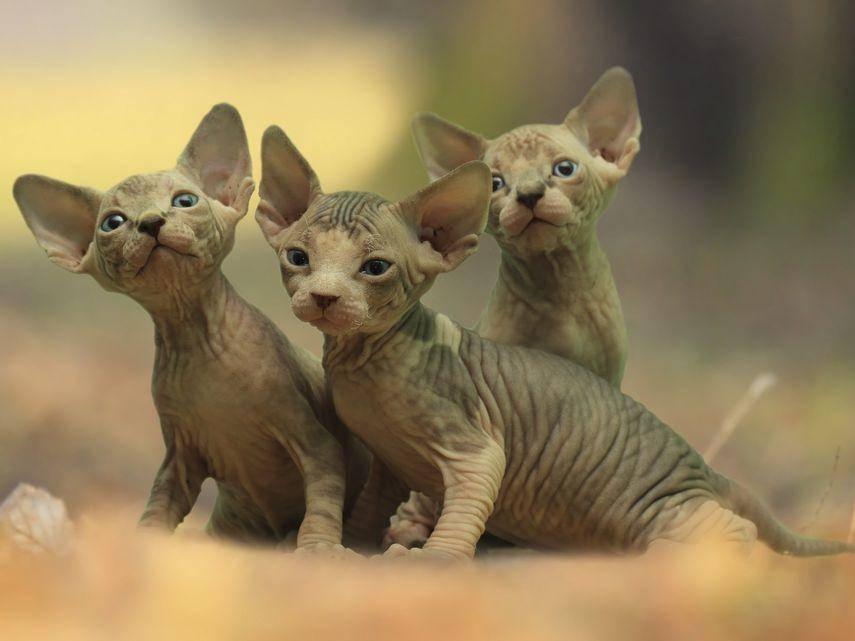 Irgendwie sind sie schon niedlich. Drei haarlose Sphynx-Kätzchen. – Bildquelle: Shutterstock / Jarda Schuler