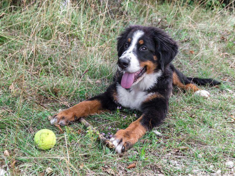 Er spielt gerne und eignet sich sehr gut als Rettungs- und Suchhund — Bild: Shutterstock / AndreaTS