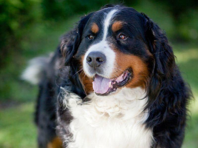 Er ist ursprünglich für als Wach-, Zug- und Treibhund gezüchtet worden, wird heute aber meist als Haushund gehalten — Bild: Shutterstock / l i g h t p o e t