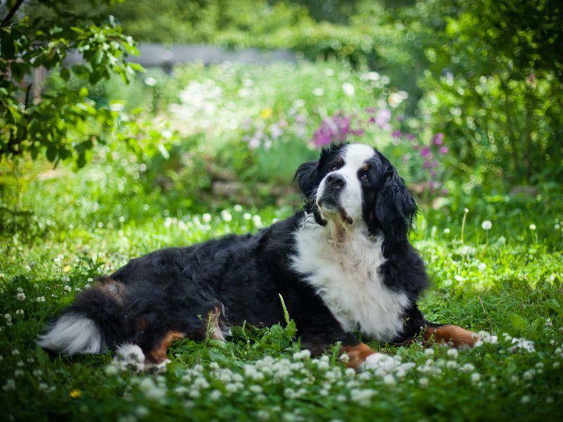 Mit seiner freundlichen,gutmütigen Art passt der Berner Sennenhund perfekt in Familien — Bild: Shutterstock / dezi