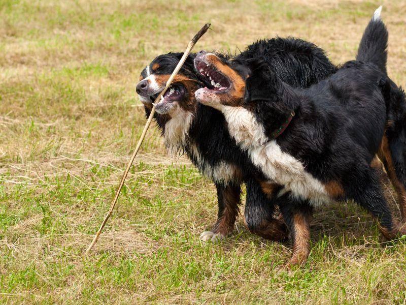 Deshalb sollte nur mit gesunden, erblich nicht vorbelasteten Berner Sennenhunden gezüchtet werden — Bild: Shutterstock / cellistka