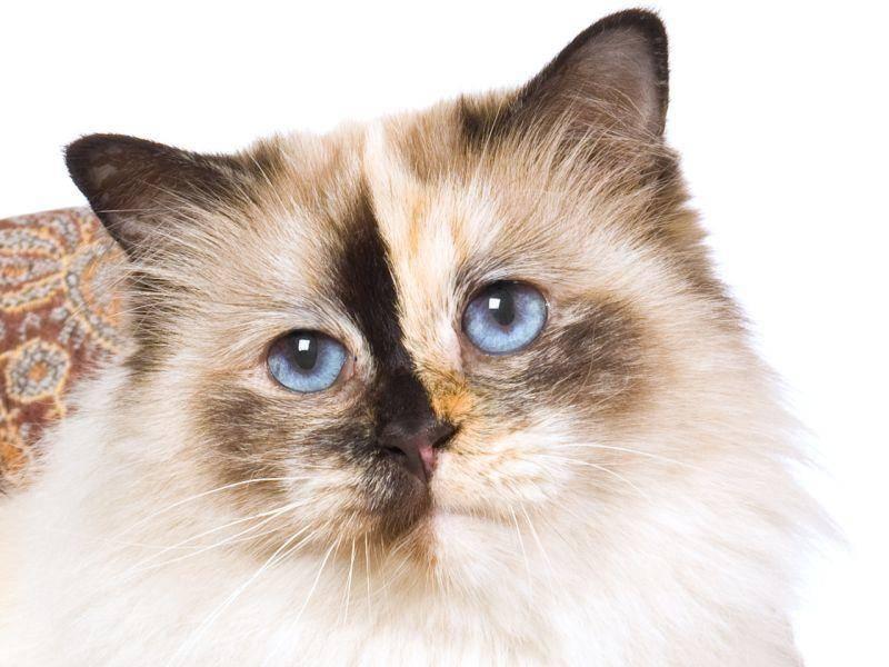 Die Birma-Katze ist also nicht nur wunderschön, sie hat auch einen tollen Charakter — Bild: Shutterstock / Linn Currie