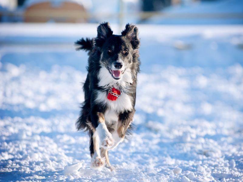 Ein Border Collie macht Tempo: Im Schnee besonders schön! – Bild: Shutterstock / Olga_i