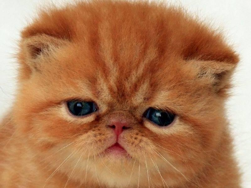 Die Ähnlichkeit von Garfield mit der Exotischen Kurzhaarkatzen-Rasse ist nicht zu übersehen, oder? — Bild: Shuterstock / Igor Leonov