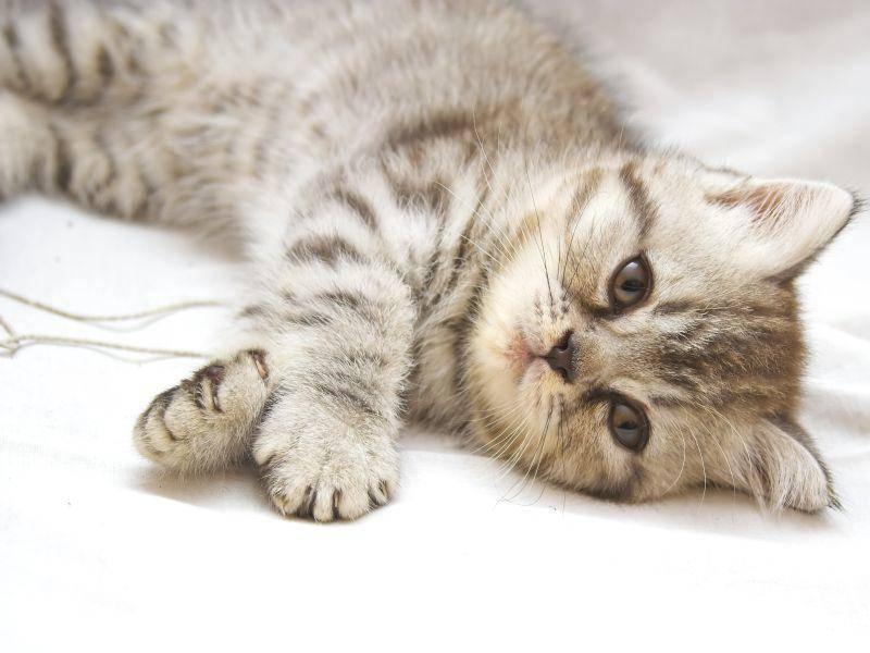 Katzen dieser Art gelten als anhänglich, sanft und anpassungsfähig — Bild: Shutterstock / Studio 37