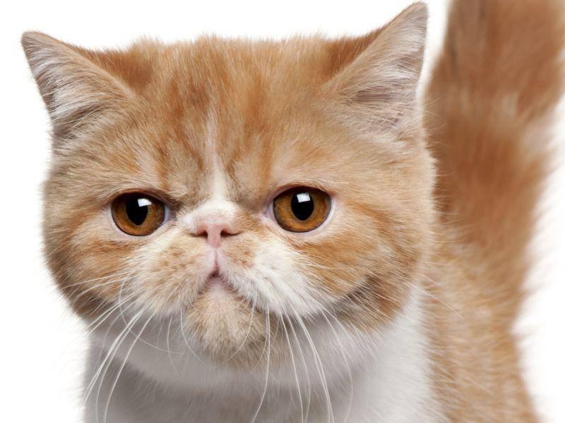 Die Exotische Kurzhaarkatze ist ein treuer Freund und ein friedliebender Zeitgenosse — Bild: Shutterstock / andyyick