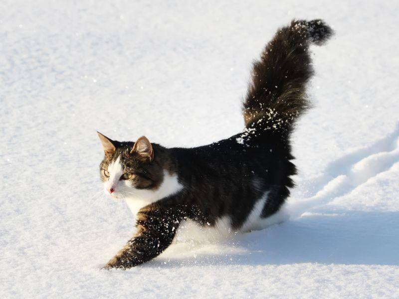 Wer so ein dickes Katzenfell hat, braucht sich im Winter nicht hinter dem Ofen verstecken – Bild: Shutterstock / 8anju8