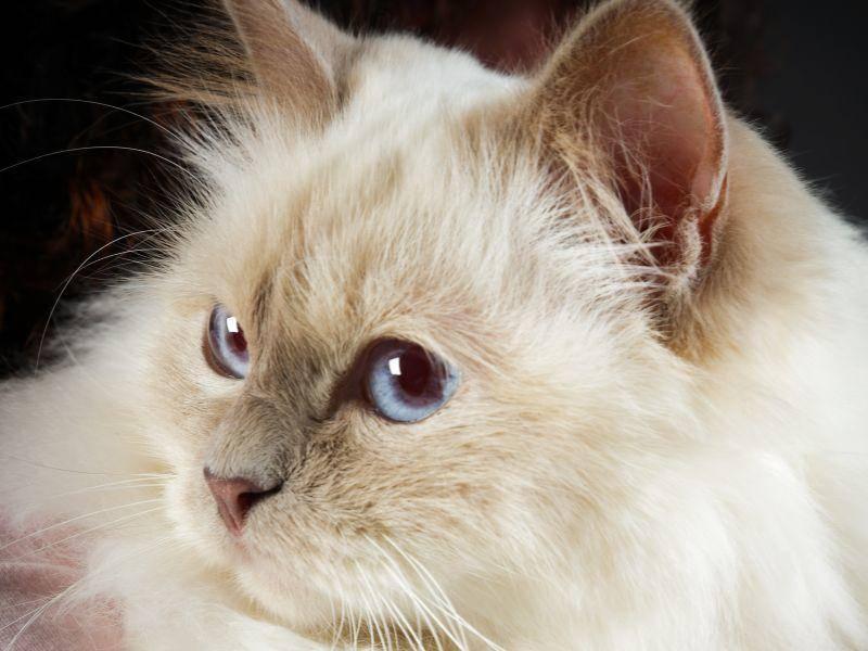 Besonders schönes Merkmal der Birma-Katze: Ihre tiefblauen Augen — Bild: Shutterstock / Ysbrand Cosijn