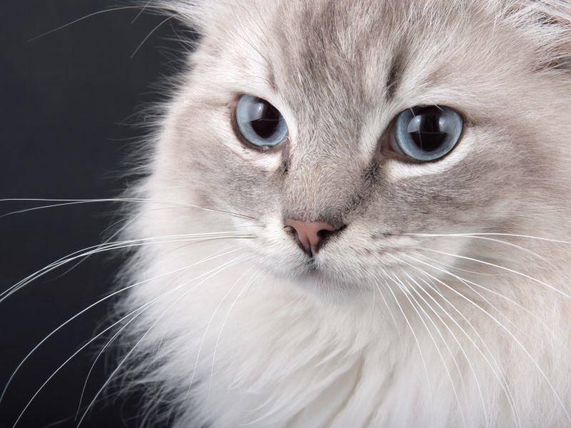 Wer sich eine Birma-Katze ins Haus holt hat es mit einer neugierigen und aufgeschlossenen Katze zu tun — Bild: Shutterstock / Krissi Lundgren