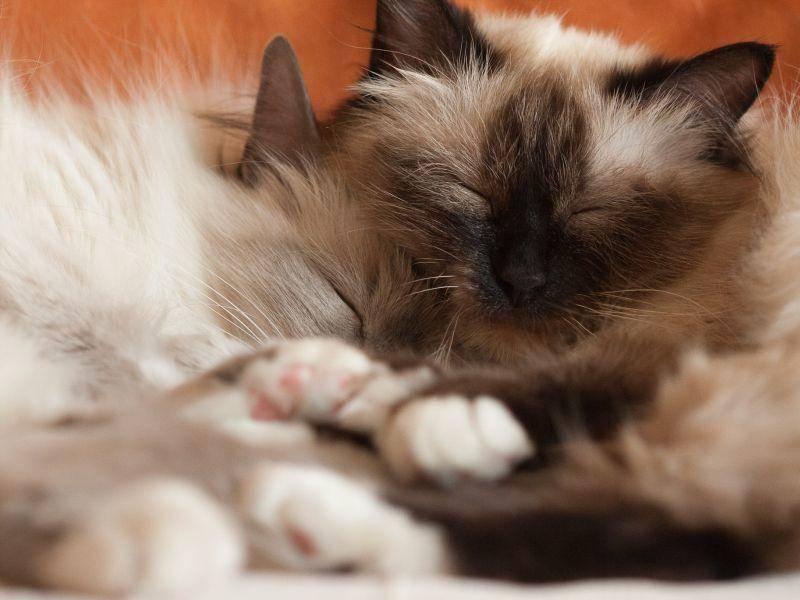 Und sie ist gar nicht gern allein. Die Birma-Katze sollte man möglichst im Doppelpack halten — Bild: Shutterstock / Juhku