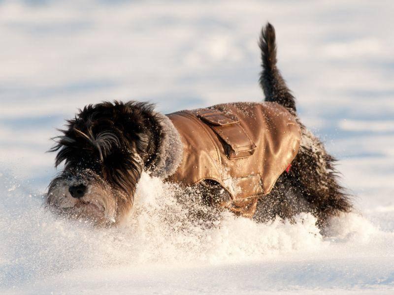 Auch kleine Hunde toben gern im Schnee, wie dieser süße Hund beweist – Bild: Shutterstock / Budimir Jevtic