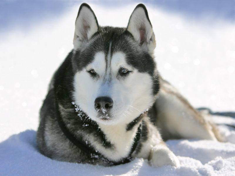 Kleine Rast im Schnee: Für flauschige Hunde wie den Husky kein Problem – Bild: Shutterstock / Bildagentur Zoonar GmbH