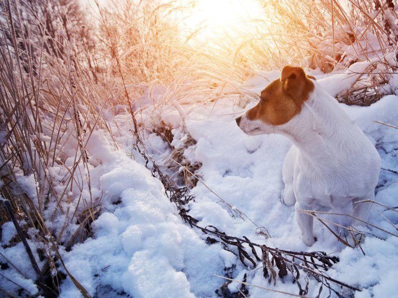 Ein Jack Russell genießt die schöne Aussicht im Schnee – Bild: Shutterstock / Smit