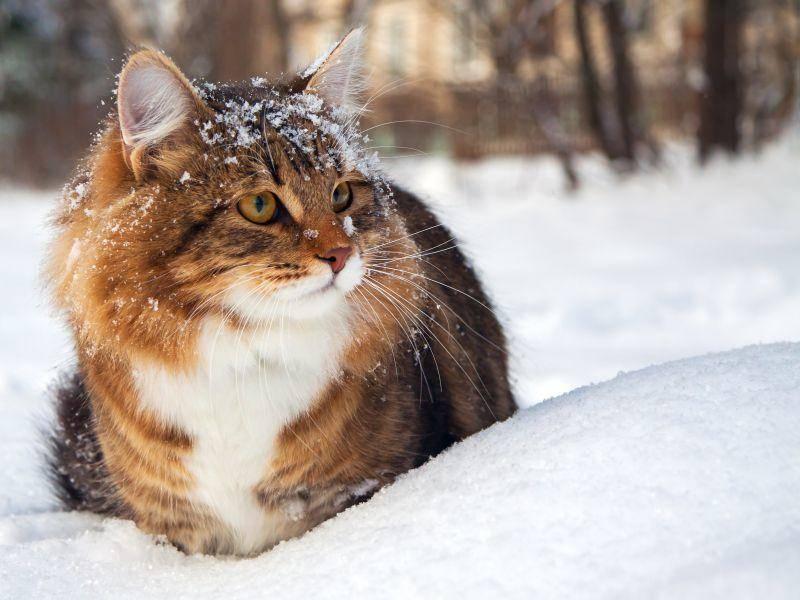 Wunderschönes Schnee-Wetter: Diese Katze liebt den Winter! – Bild: Shutterstock / yanikap