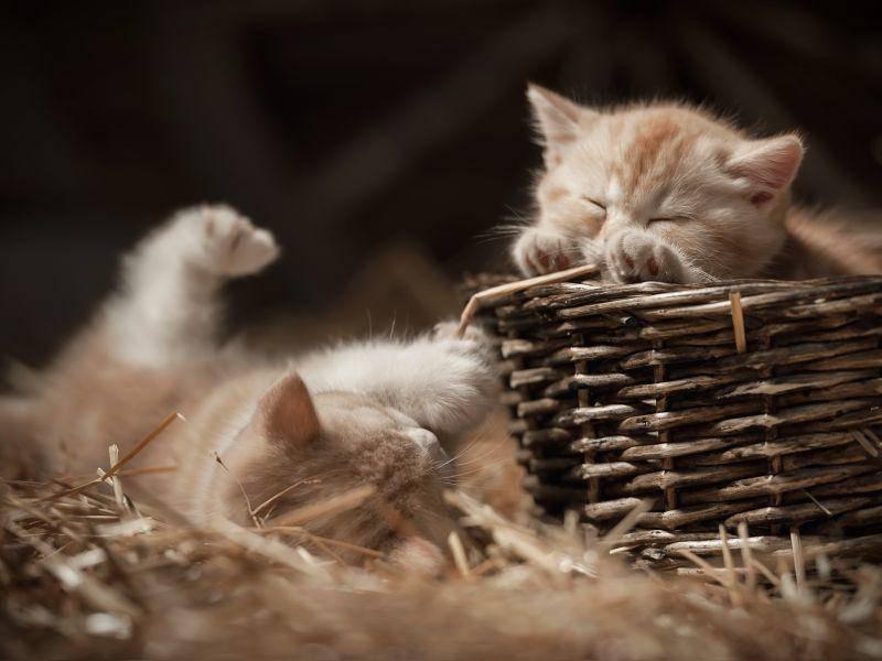 Und was machen Katzenbabys nach dem Toben? Klar, natürlich ausruhen! — Bild: Shutterstock / Vasilyev Alexandr