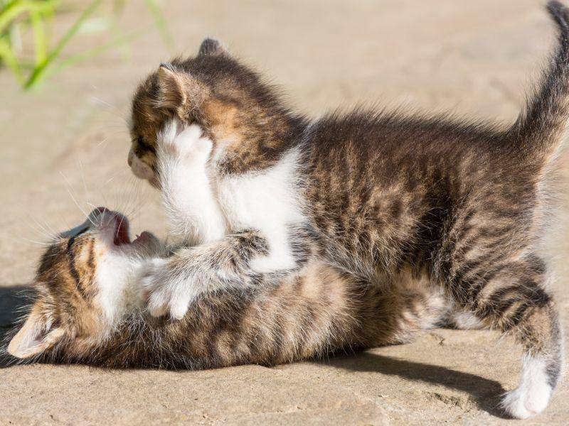 Toben macht Spaß: Diese beiden Babykatzen sind schon dabei! — Bild: Shutterstock / Galyna Andrushko