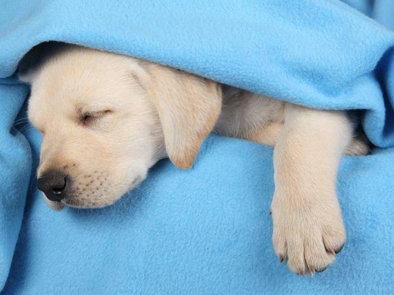Labradorwelpe-mit-blauer-decke