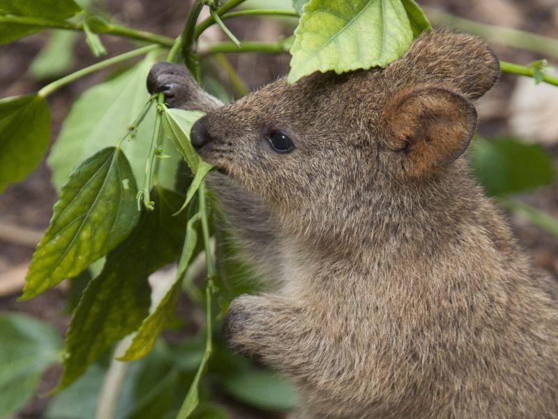 Am liebsten frisst das Quokka Blätter, Gräser und Kräuter – Bild: Shutterstock / Kathryn Willmott