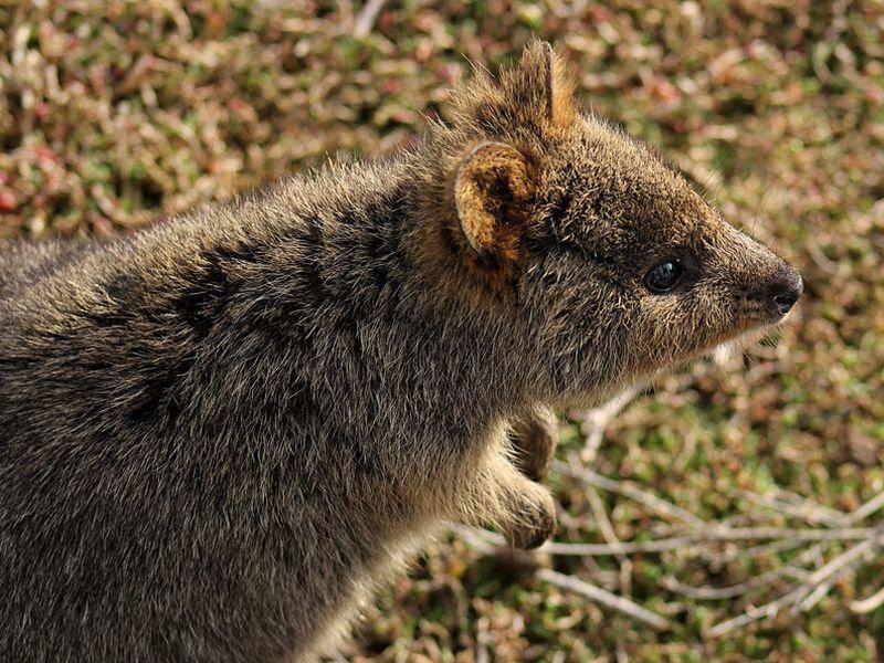 Mittlerweile hat sich herumgesprochen, wie niedlich das Quokka ist. In ihrer Heimat, Rottnest Island, werden die Tiere viel von Touristen besucht – Bild: Shutterstock / Fraoch Mhaoillan