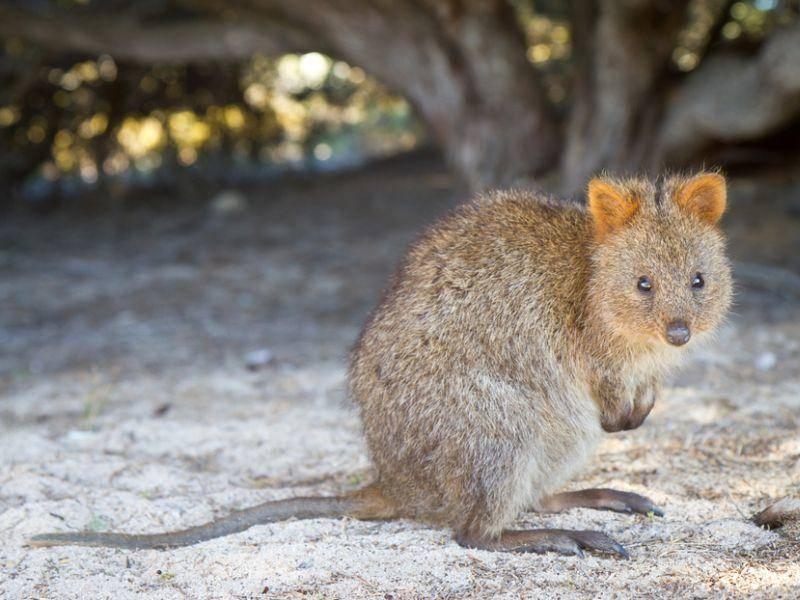 Das Quokka zählt zu den Kurzschwanzkängurus und wird 40 bis 60 Zentimeter groß – Bild: Shutterstock/ Ashley Whitworth