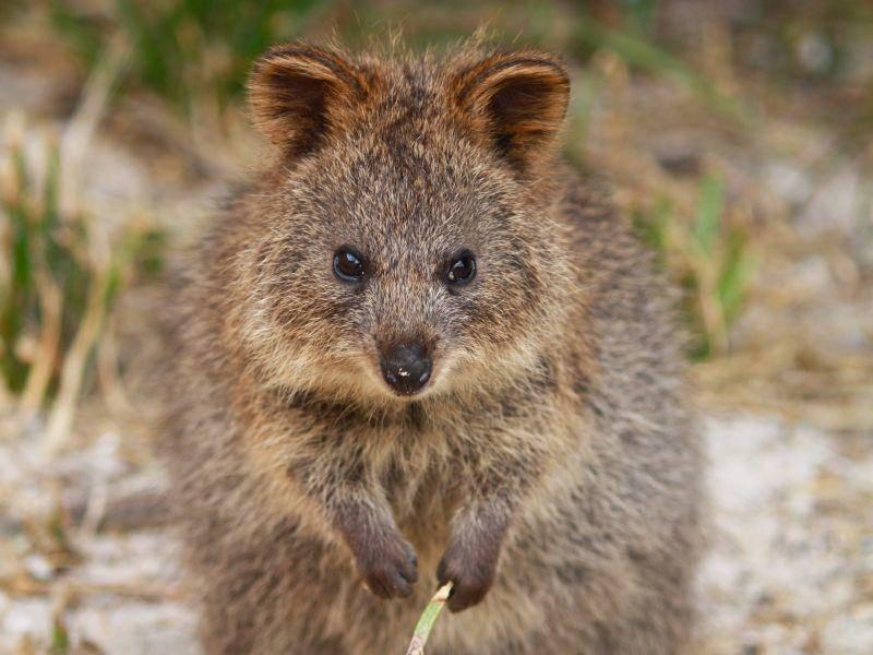 Quokkas leben auch auf dem australischen Festland, besonders die Insel Rottnest Island gilt allerdings als Quokka-Paradies – Bild: Shutterstock / mingis