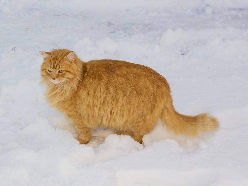 Kandidat für das dickste Winterfell der Welt? Diese Katze ist bestimmt einer – Bild: Shutterstock / Steve Collender