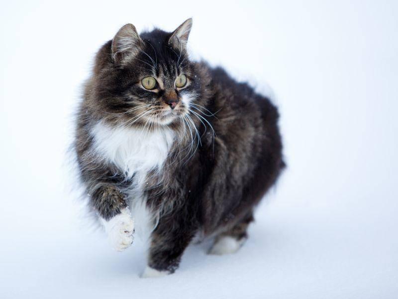 Und auch diese Katze ist im Winter ein wahrhaft majestätischer Anblick – Bild: Shutterstock / DragoNika