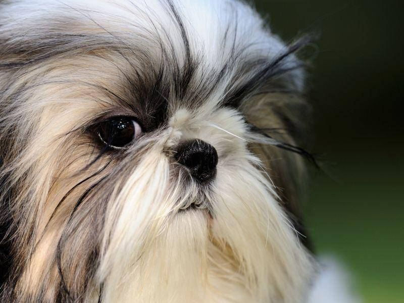 Der Gesichtsausdruck des Shih Tzu ist unverwechselbar — Bild: Shutterstock / Nagel Photography